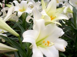 Easter Lily Order Eater Lilies Easter Lily Wholesale Easter Liles